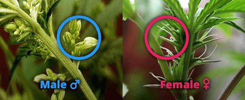 Showing the difference between male and female cannabis plants