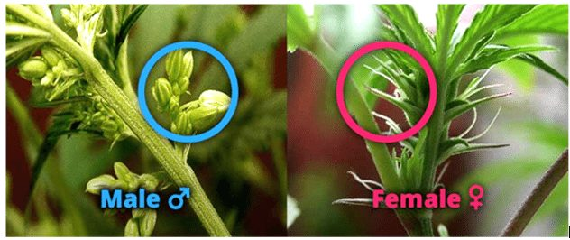 Female and Male Cannabis