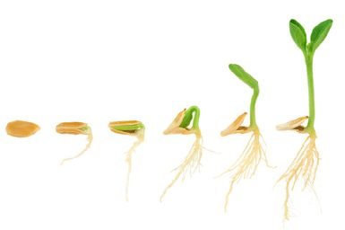 Seedling Stages of growth