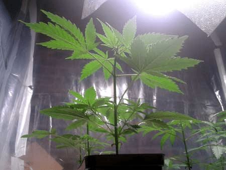 vegetative cannabis plant