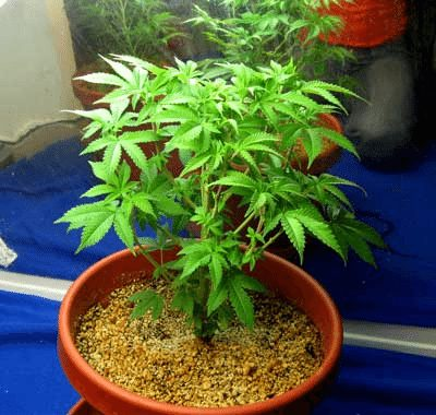 Young Cannabis Plant