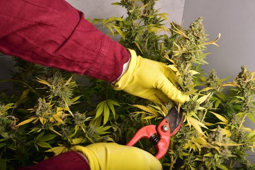 When To Harvest Your Cannabis Plants