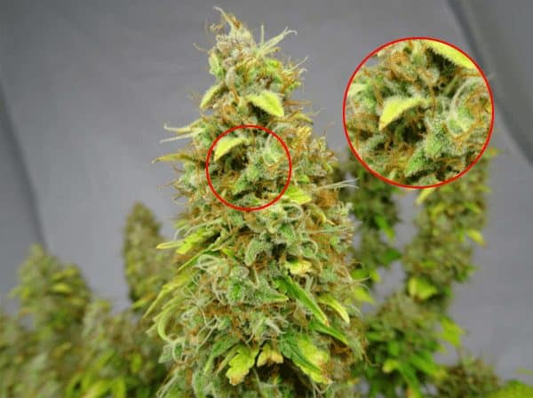 cannabis pistils ready for harvest