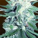 CBD Dream Auto Feminized Seeds