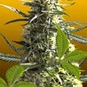 Jack Herer Auto Feminized Seeds