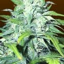 Low Flyer Auto Feminized Seeds