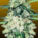NYC Diesel Auto Feminized Seeds