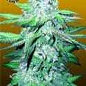 Train Wreck Auto Feminized Seeds