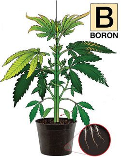 Boron Nutrients